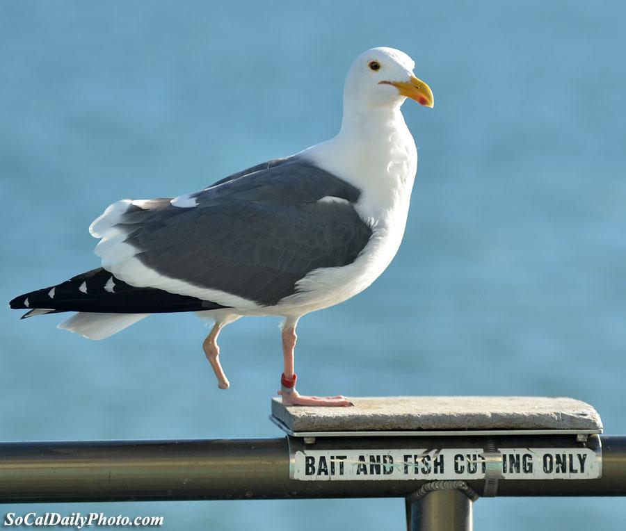 bird mistaken for bait