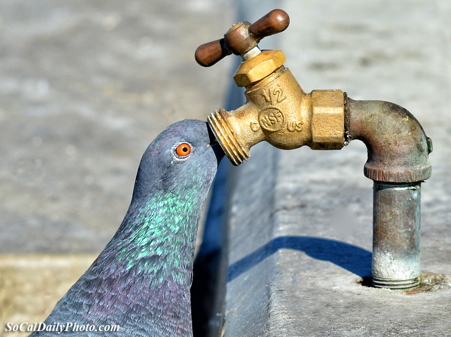 Pigeon Drinking from a Water Faucet at the Huntington Beach Pier ...