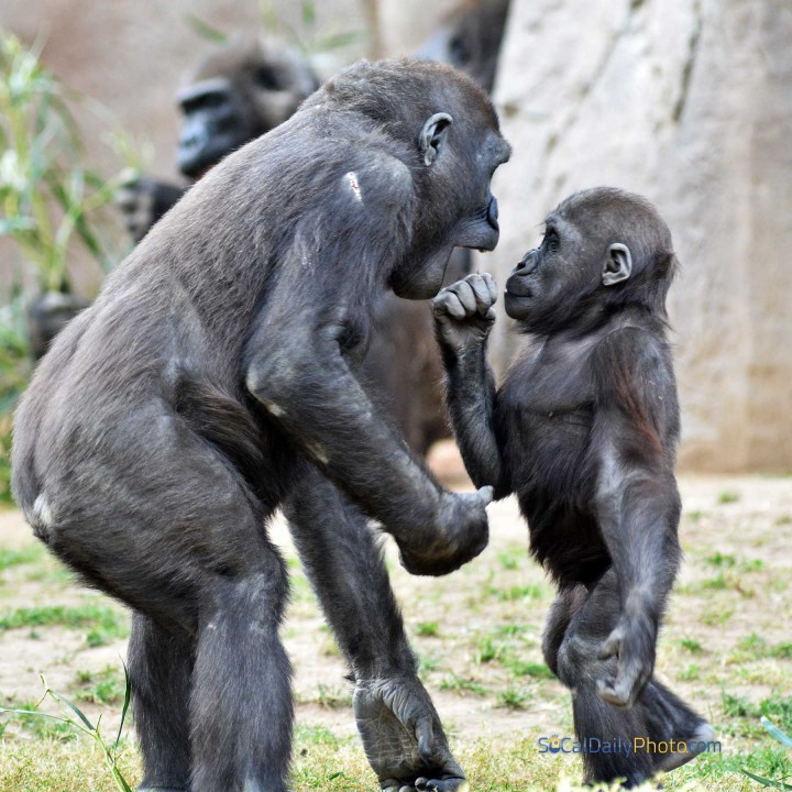 Baby gorilla stands up to a bigger gorilla